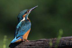 Avifauna da Devesa | Guarda-rios (Alcedo atthis)