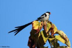 Avifauna da Devesa | Viúva-de-cauda-comprida (Vidua macroura) – exótica
