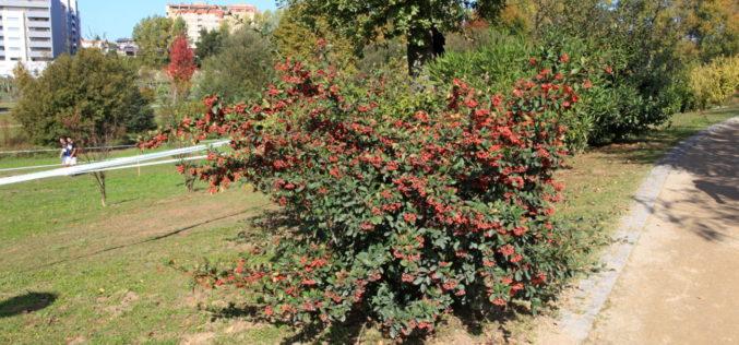 Flora do Parque da Devesa | Cotoneaster horizontalis Decne e Cotoneaster lacteus Medik – Plantas tão parecidas que até se confundem