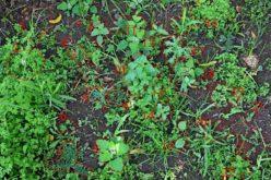 Botânica | Ervas daninhas
