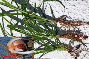 J A Salgado: Plantas da Devesa - Ervas Daninhas 2 - 2 Vila Nova Online Artigo nº 2 26122017