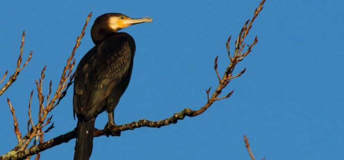 Avifauna do Parque da Devesa | Corvo-marinho-comum ou Corvo-marinho-de-faces-brancas (Phalacrocorax carbo)