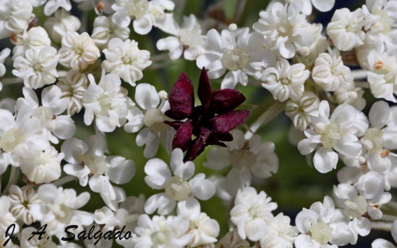 Botânica | Daucus Carota, a cenoura-brava