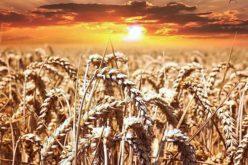 Ciência Viva | Trigo. O mapa mais completo do genoma do cereal realizado até hoje acaba de ser publicado na Science