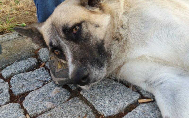 Canis lupus familiaris | Cão comunitário: Solução ou problema?
