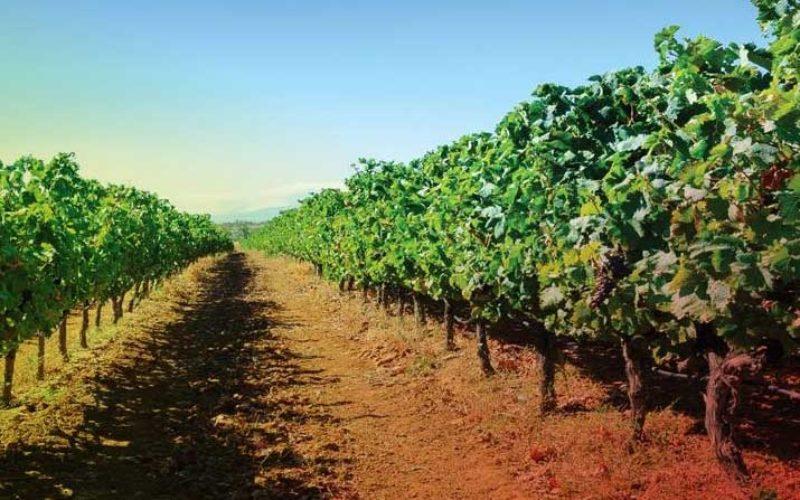 Vinha   Final de outubro é o limite para municípios se candidatarem à eleição da AMPV a Cidade do Vinho 2019