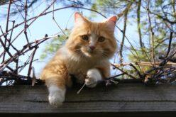 Felis catus | Município e Sociedade Protetora dos Animais articulam política animal com as Juntas de Freguesia