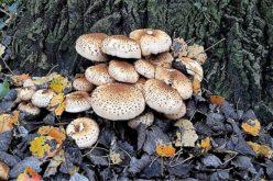 Saúde | Intoxicação por Cogumelos