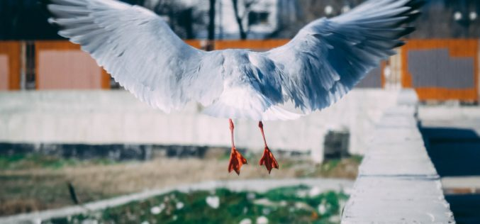 PAN | PAN apresenta iniciativa legislativa sobre o estado das gaivotas em meios urbanos costeiros