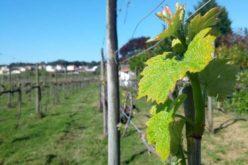 Vinho | 'Encontros Vínicos do Vinho Verde' promovem Vinho Verde em Viana do Castelo