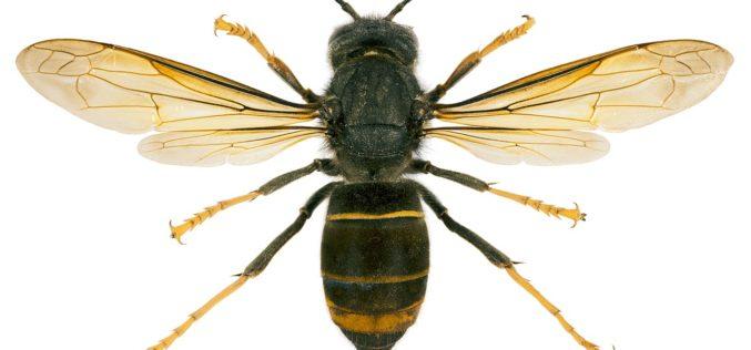 Biodiversidade | Santo Tirso investe contra a vespa velutina