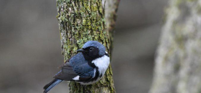Ornitologia | Cinquenta anos de dados mostram novas mudanças na migração de aves