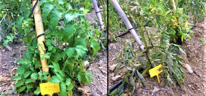 Horticultura | Tomate selvagem defende-se melhor das pragas do que variedades cultivadas