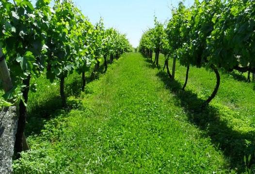 da uva ao vinho by frutivinhos_n 00