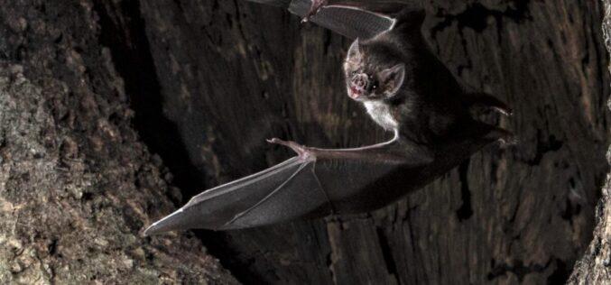 Comportamento | Morcegos fazem quarentena quando estão doentes