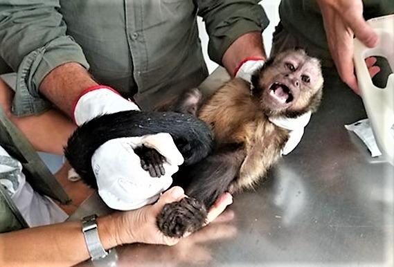 Macaco-prego-das-Guianas