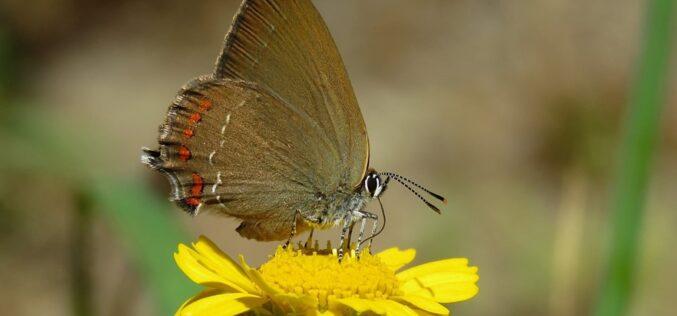 BioMindelo | Borboleta Castanhinha-dos-carvalhos (Satyrium esculi)